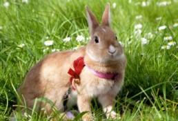 Wandelen met uw konijn