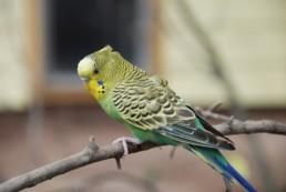 Oververhitting vogels